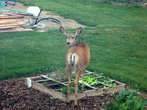 Keeping Deer Away From Your Garden Buffet